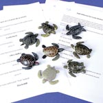 Sea Turtle Dichotomous Key Activity