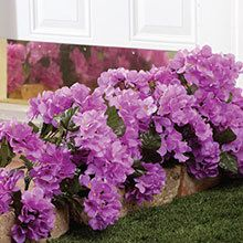 All-Weather Forever Blooms - Purple Hydrangea