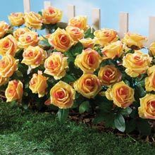 All-Weather Forever Blooms - Yellow Roses