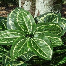 All-Weather Forever Plants - Hosta