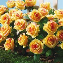 All-Weather Forever Roses