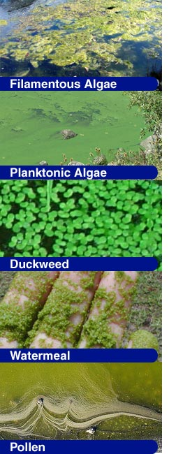 Algae, Duckweed, Watermeal & Pollen Identification
