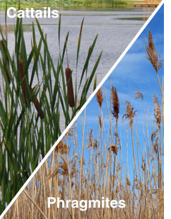 Picture of Cattails & Phragmites