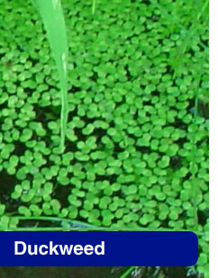 Picture of Duckweed