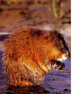 Picture of a Muskrat