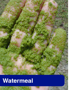 Picture of Watermeal