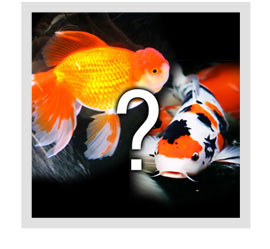 Can Koi and Goldfish Breed?