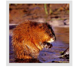 I have muskrats, what do I do?