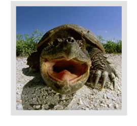 I've heard a lot about snapping turtles. Are they good for a pond or should just remove them?