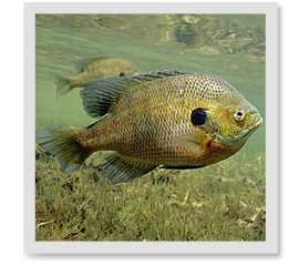 What Is A Hybrid Bluegill? Should I Put Them In My Pond?