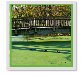 How Do I Treat Duckweed?