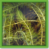 What chemical should I use to treat water milfoil?