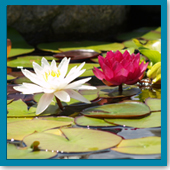 Can I overwinter my tropical water lilies?