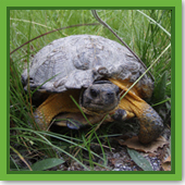 Do turtles burrow in the ground for winter?
