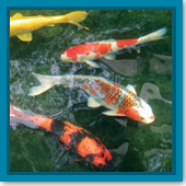 How do I know it is OK to put my fish back into the outdoor pond?