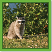 I see predator control options for geese and swans, but what about options for other animals, like raccoons?