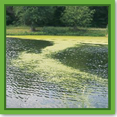 Q: I think I have duckweed or watermeal. How do I know? And how do I treat it?