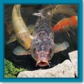 Q: Now that water temperatures are warmer, what should I feed my fish?