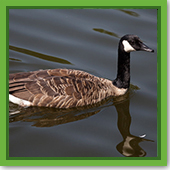 Q: The geese are really making a mess. How can I prevent them from using my pond?