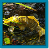 Q: How do I treat my pond fish for ich and other diseases?