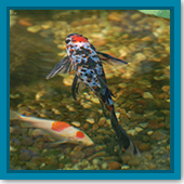 Q: Besides koi, what are some other types of fish for my pond?