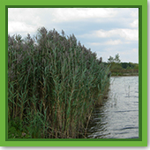 Q: Do I treat phragmites the same as I treat cattails?