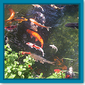 Q: My koi didn't spawn last year. How can I get them to spawn?