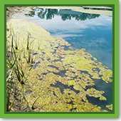 Q: My pond is full of floating algae. How do I get rid of it?