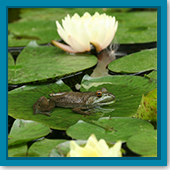 Q: I bought bullfrog tadpoles for my pond. What do I need to know about them?