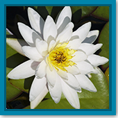 Q: My water lilies have lots of leaves but no flowers. What's wrong?