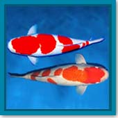 Q: How can I tell if I have male or female koi?