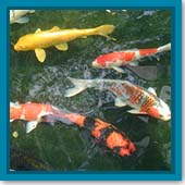 Q: I just saw my favorite koi. He used to have black spots – but where did they go?