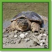 Q: We had a snapping turtle around our pond last year. Will he snap at us if we try to go swimming?