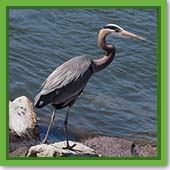 Q: What is the best way to keep herons from eating my fish?
