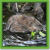 Q: I think I have a muskrat visiting my pond. How can I know for sure?
