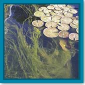 Q: My pond was a mess, so I drained and refilled it. Now I have algae. What do I do?