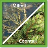 Q: I think I have either milfoil or coontail. How do I tell the difference, and what chemical should I use?