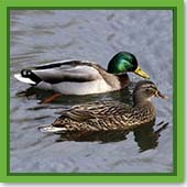 Q: I would love to have ducks at my pond. Is there any harm, and how do I attract them?