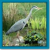 Q: What can I do to help out a fish that was attacked by a heron?