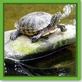 Q: I know my fish will go to the bottom of the pond for the winter, but do I need to do anything for turtles?