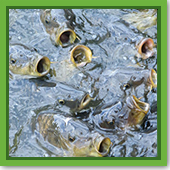 Q: I occasionally feed my game fish pellet food, but they don't seem as interested any more. Is something wrong?