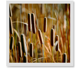 Do Cattails actually die in the winter or can I do something to prevent them from coming back?