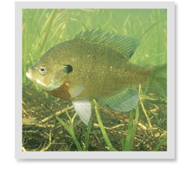What is the difference between regular Bluegill and Hybrid Bluegill?