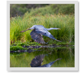 Do herons fly south for the winter?