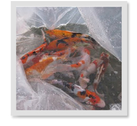 We just constructed out pond, how long should we wait to add fish?
