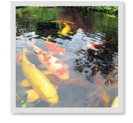 I purchased a bright yellow-colored koi. Several months later, the colors began to fade. Why?