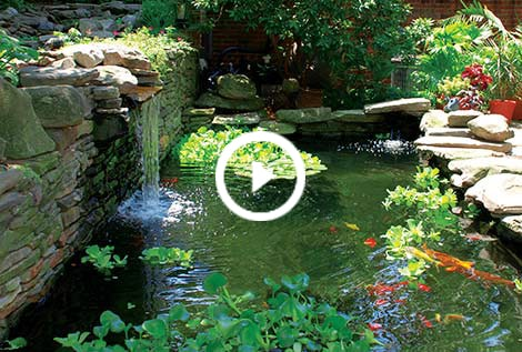Water pond plants black japanese trapdoor pond snails for Water plants for koi pond