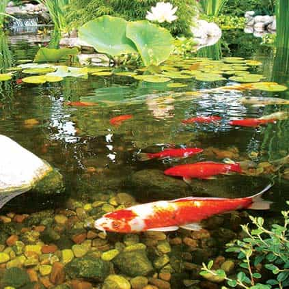 Water garden supplies fish pond supplies the pond guy for Amazon fish ponds