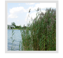 How do weeds like Cattails and Phragmites survive the winter?