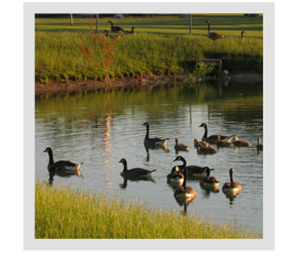The geese are already showing up at my pond. How can I stop them from making my pond home?